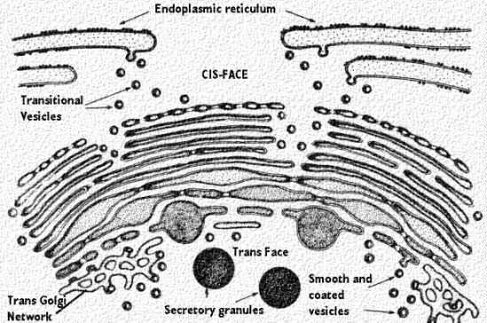 mitochondria and ribosomes functional relationship